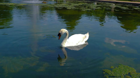 White swan drinking water in a local pond Live Action