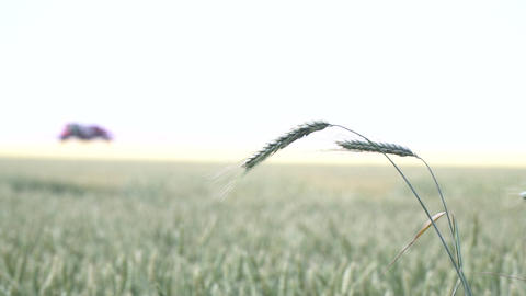 Close up of the ears of wheat with self propelled sprayer on the background Live Action