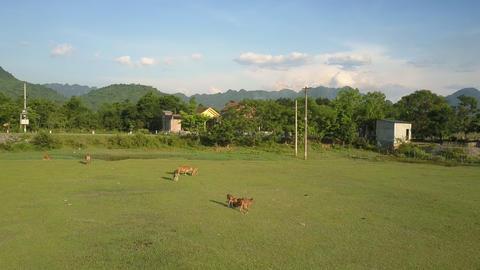 calm buffaloes graze on green meadow against asphalt road Footage