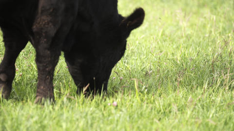 Cows calmly grazing on meadow and looking yummi grass for food Footage