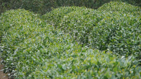 Green Tea Garden stock footage