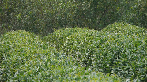 Green tea garden Stock Video Footage
