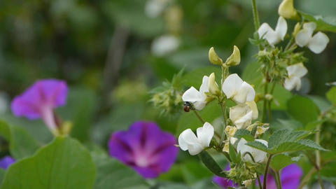 Little white flowers & Morning Glory Stock Video Footage