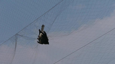 Bird trapped in net,struggling to die in blue sky like fail loser.destruction of Footage