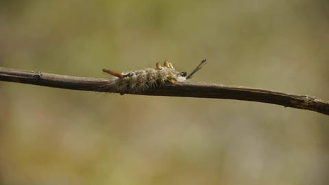 caterpillar on branches Footage