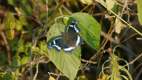 butterfly to incite wings on green leaves Footage