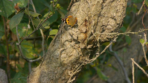 Butterfly inciting wings on tree trunk in woods Footage