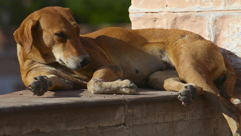 Stray dog Stock Video Footage