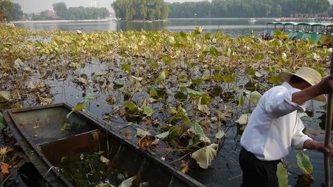 Vast lotus pool,Fisherman on wooden boat clean lake in beijing Footage