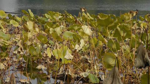 Vast lotus leaf pool in autumn beijing Stock Video Footage