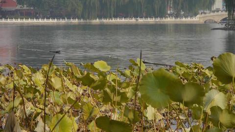 Vast lotus leaf pool in autumn beijing & lake bridge... Stock Video Footage