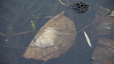 withered lotus leaf in water,lotus leaf pool in autumn beijing Footage
