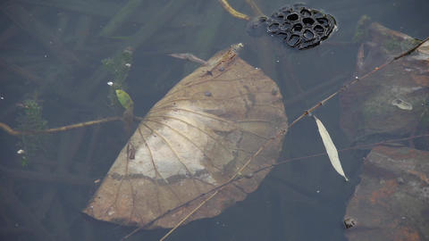 withered lotus leaf in water,lotus leaf pool in autumn... Stock Video Footage