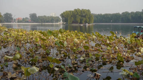 Vast lotus pool lake,Fisherman on boat in beijing Stock Video Footage