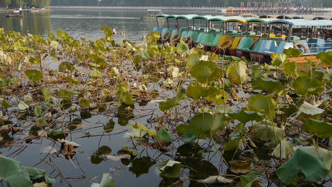 Vast lotus leaf pool in autumn beijing & lake bridge railings.fisherman on b Footage