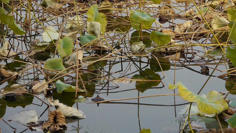lotus leaf pool in autumn beijing Stock Video Footage
