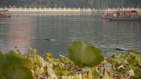 Vast lotus leaf pool in autumn beijing & lake railings Footage