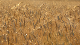 Crop of Wheat Backlit by the Early Morning Sun Stock Video Footage
