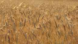 Crop of Wheat Backlit by the Early Morning Sun Footage