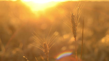 Head of Wheat Against the Setting Sun Stock Video Footage