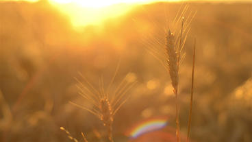 Head of Wheat Against the Setting Sun Footage