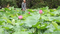 lotus flower in Lou Lim Lok garden in macau Suzhou style garden Footage