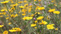 daisies field flowers with light breeze in a sunny day Footage
