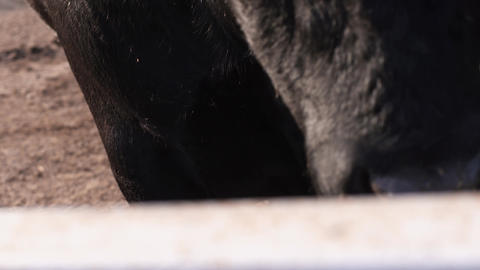 Dirty wet nose. Bull stays in front of camcorder in middle of barnyard Footage