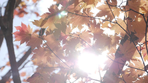 Yellow maple tree with sunlight at autumn Live Action