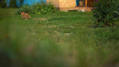 A cute red kitten is the kitten runs away and comes back on the grass near the Footage