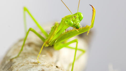 Macro shot of a Praying Mantis cleaning themselves Live Action