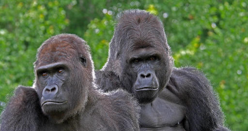 Eastern Lowland Gorilla, gorilla gorilla graueri, Male and Female, real Time 4K Footage