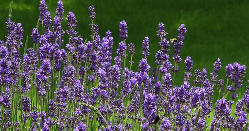 Lavender, lavandula sp., Normandy, Real Time 4K Live Action