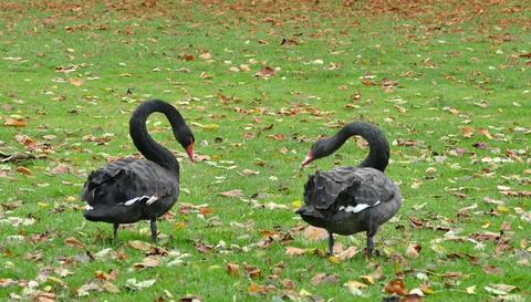 Black Swans Footage