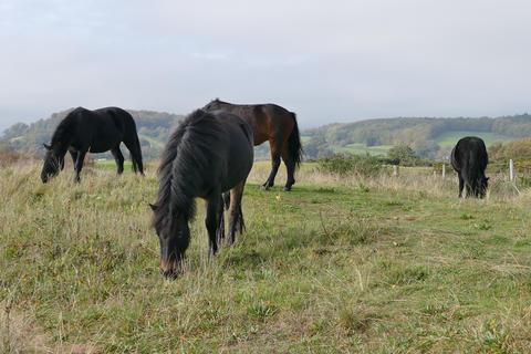 Wild Shetland Ponies Footage