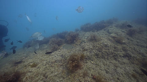 Scuba diver and fish in Black sea. Beautiful view Live Action