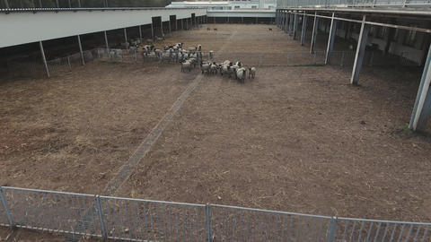 Drone flies over fenced corral with herd of roaming grey sheeps and black lambs Live Action