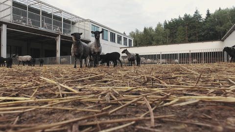 Big fenced corrals with herd of running and roaming grey sheeps and black lambs Live Action