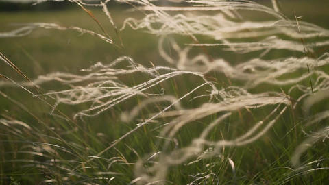 Silver feather grass swaying in wind in steppe. Feather grass in Russia. strong Live Action