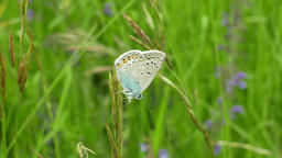 Common blue Polyommatus icarus, wild butterfly male, detail macro, common Footage