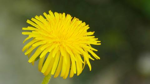 yellow dandelion like the sun Live Action