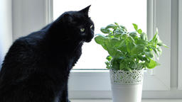 Cat is smelling fresh basil Live Action