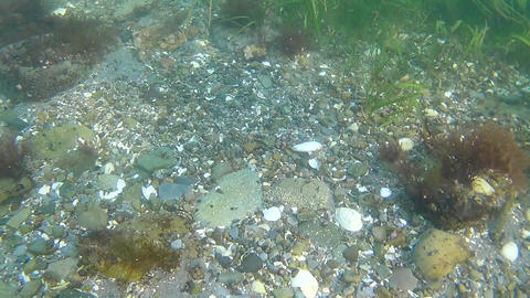 Underwater survey of the bottom of the sea of Japan with marine vegetation and animals Live Action