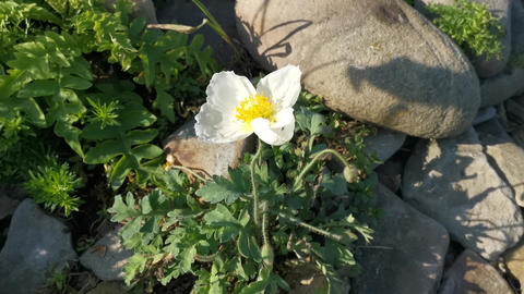 White poppy flowers on the beach in gray stones Footage