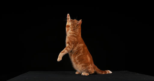Red Tabby Domestic Cat, Adult Leaping against Black Background, Slow motion 4K Live Action