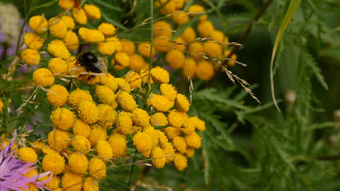 Shaggy bumblebee on yellow tansy Live Action