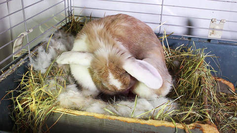 Rabbit Giving Birth Pet Bunny Animal Mammal Give Birth Newborn Kits Lop Kit Baby Footage