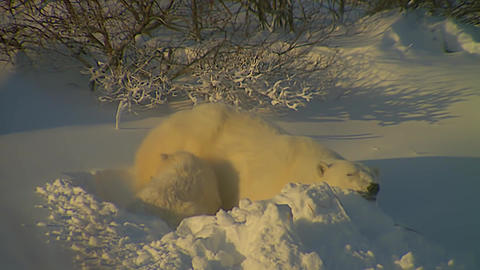 Adult Female Polar Bear And Her Cub stock footage
