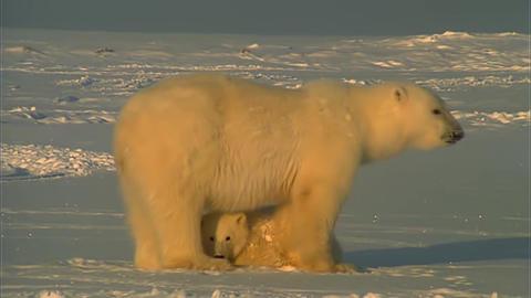 Adult Female Polar Bear And Her Cub Footage