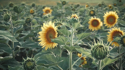 Field of Young Sunflowers Footage